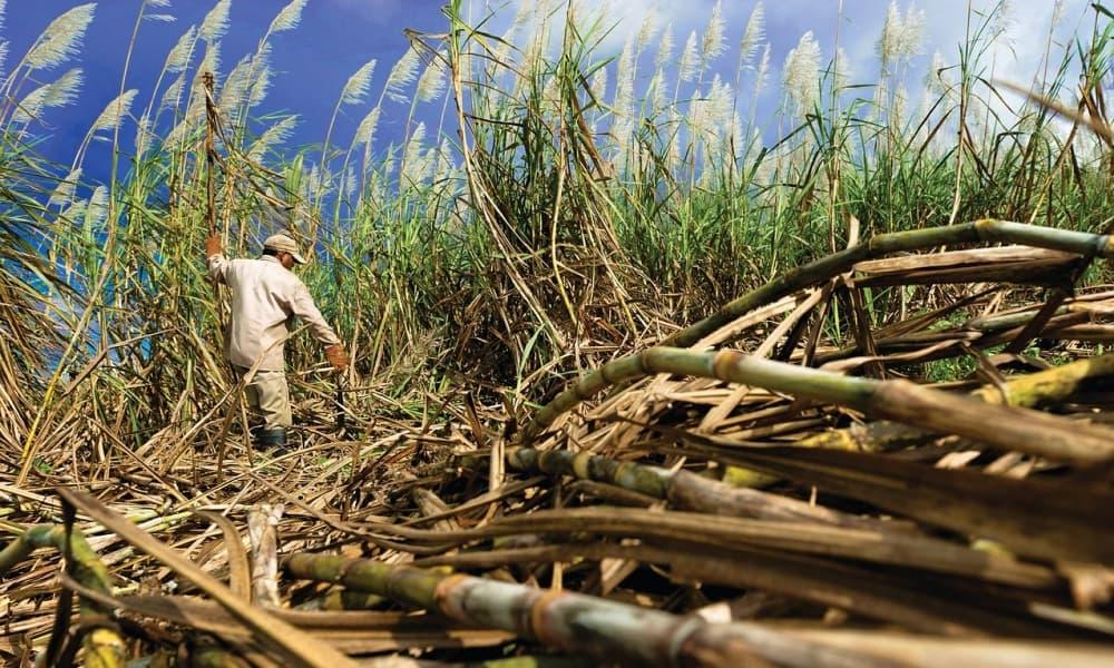 Agricultor cosecha caña de azúcar en el campo