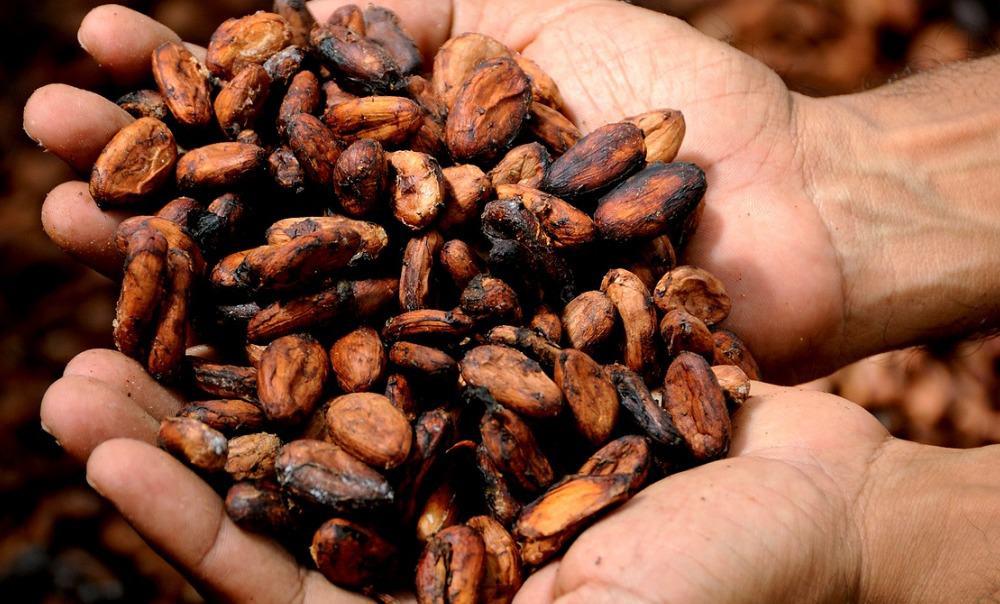 Cacao, cocoa